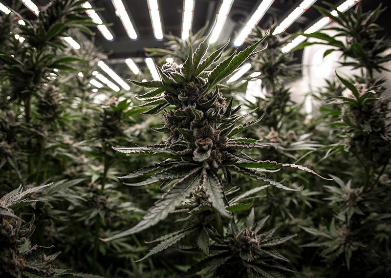 How LED Grow Lights Help Cannabis